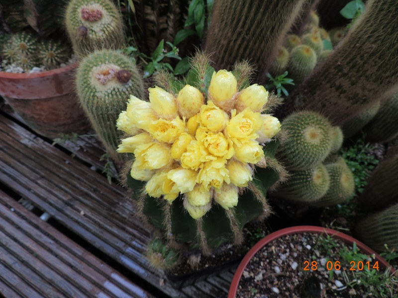 Cacti and Sukkulent in Köln, every day new flowers in the greenhouse Part 103 Bild1093