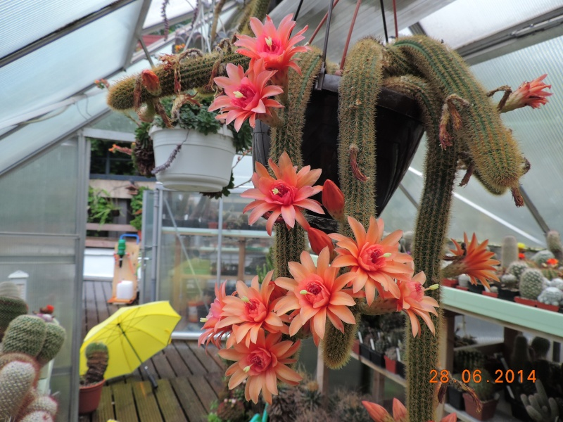 Cacti and Sukkulent in Köln, every day new flowers in the greenhouse Part 103 Bild1094