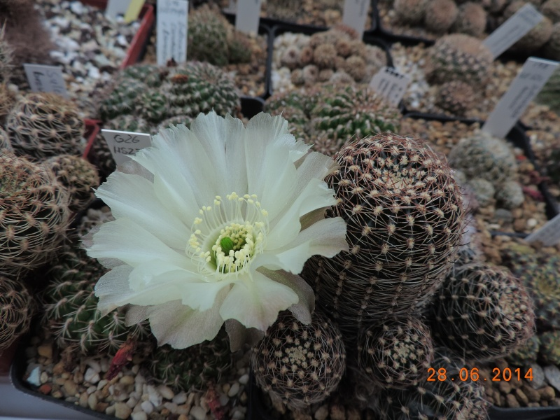 Cacti and Sukkulent in Köln, every day new flowers in the greenhouse Part 103 Bild1096