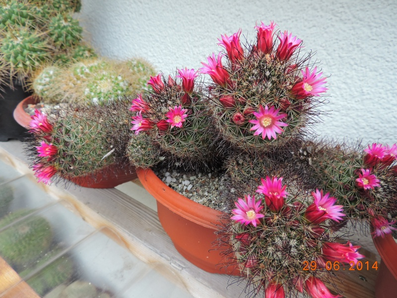 Cacti and Sukkulent in Köln, every day new flowers in the greenhouse Part 103 Bild1118