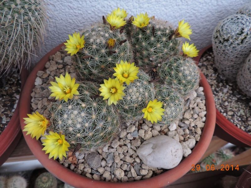 Cacti and Sukkulent in Köln, every day new flowers in the greenhouse Part 103 Bild1119