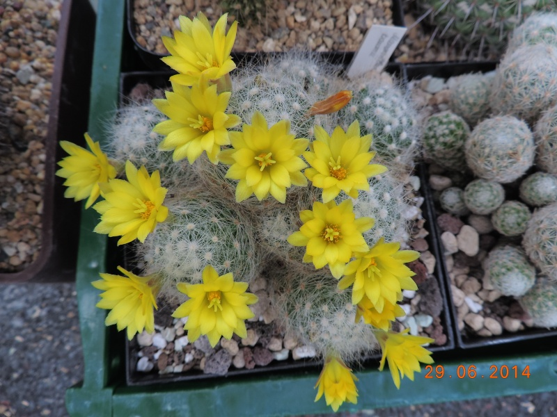 Cacti and Sukkulent in Köln, every day new flowers in the greenhouse Part 103 Bild1123