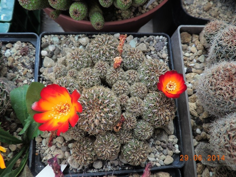 Cacti and Sukkulent in Köln, every day new flowers in the greenhouse Part 103 Bild1129