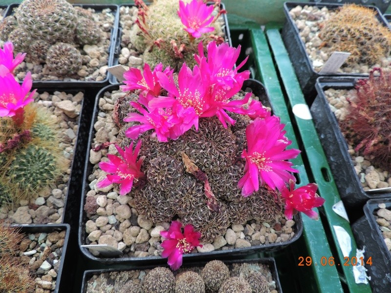Cacti and Sukkulent in Köln, every day new flowers in the greenhouse Part 103 Bild1130