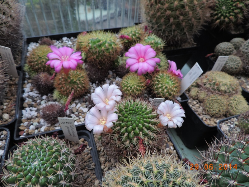 Cacti and Sukkulent in Köln, every day new flowers in the greenhouse Part 103 Bild1132