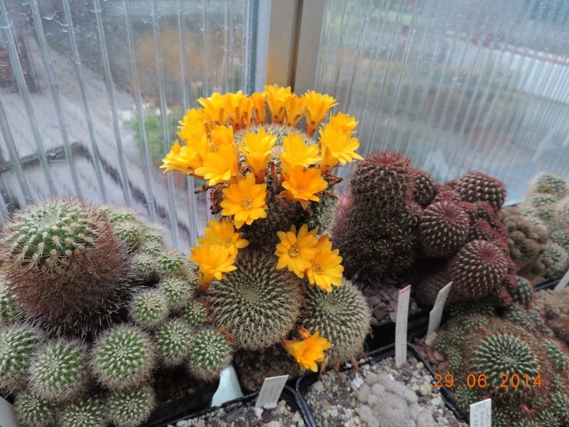 Cacti and Sukkulent in Köln, every day new flowers in the greenhouse Part 103 Bild1135
