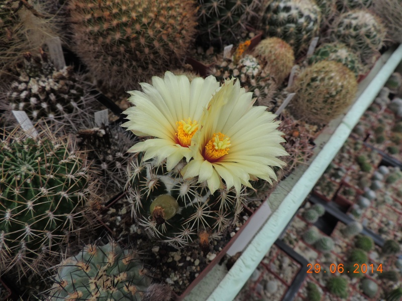 Cacti and Sukkulent in Köln, every day new flowers in the greenhouse Part 103 Bild1136