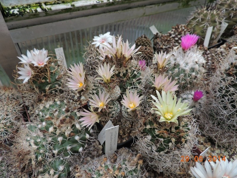 Cacti and Sukkulent in Köln, every day new flowers in the greenhouse Part 103 Bild1140