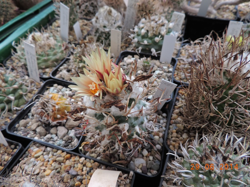 Cacti and Sukkulent in Köln, every day new flowers in the greenhouse Part 103 Bild1141