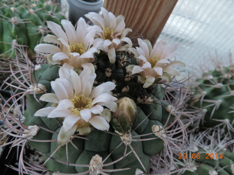 Cacti and Sukkulent in Köln, every day new flowers in the greenhouse Part 104 Bild1144
