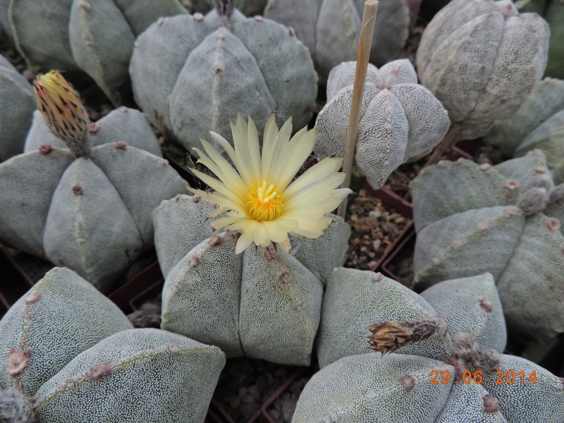 Cacti and Sukkulent in Köln, every day new flowers in the greenhouse Part 104 Bild1147