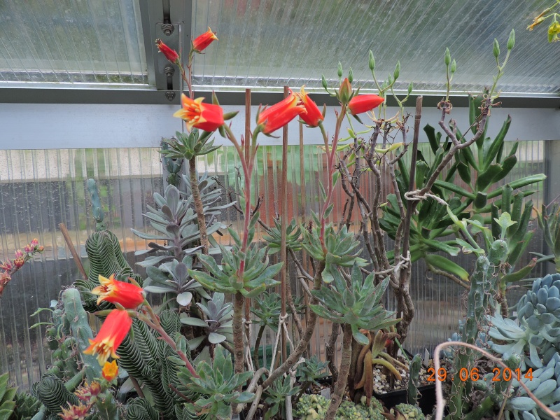 Cacti and Sukkulent in Köln, every day new flowers in the greenhouse Part 104 Bild1153