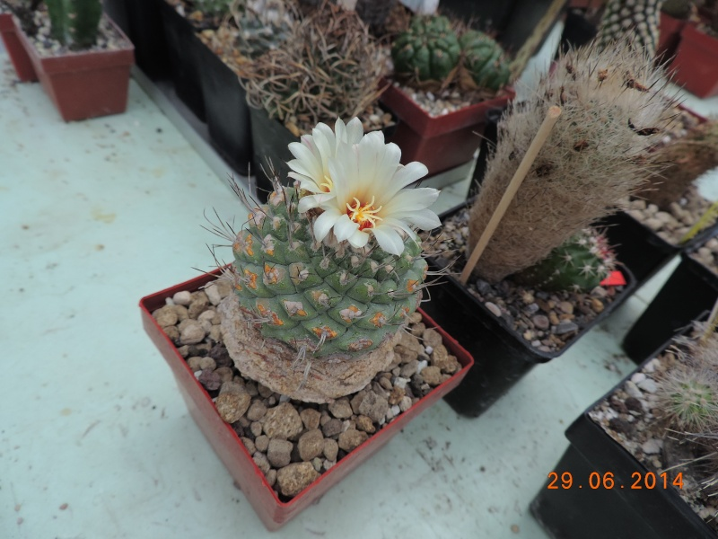 Cacti and Sukkulent in Köln, every day new flowers in the greenhouse Part 104 Bild1157
