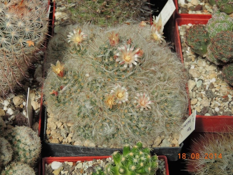 Cacti and Sukkulent in Köln, every day new flowers in the greenhouse Part 104 Bild1178