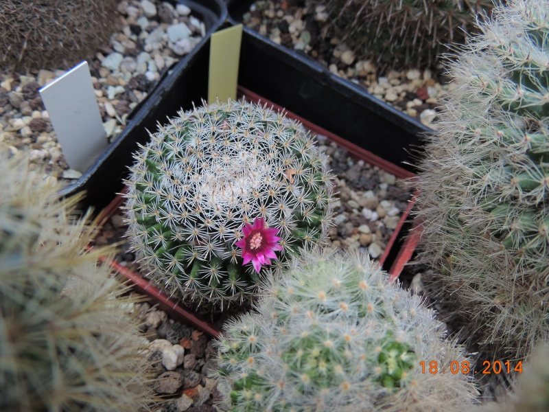 Cacti and Sukkulent in Köln, every day new flowers in the greenhouse Part 104 Bild1179