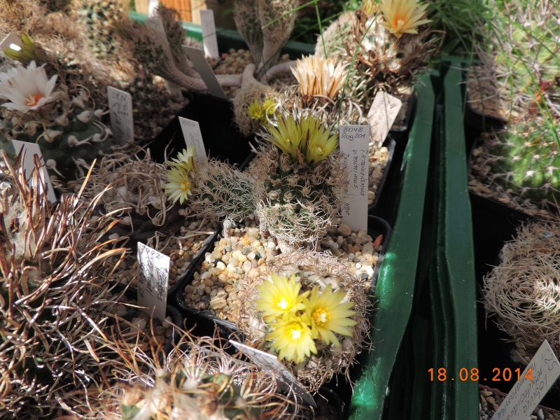 Cacti and Sukkulent in Köln, every day new flowers in the greenhouse Part 104 Bild1190