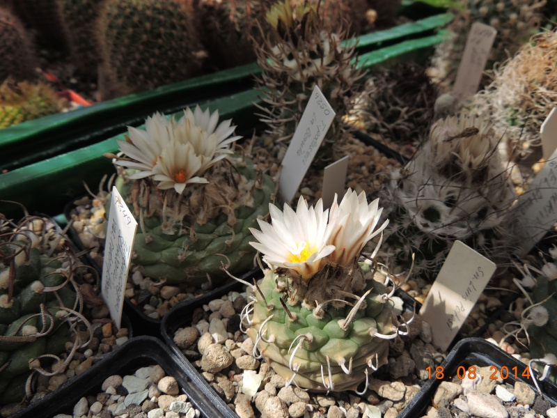 Cacti and Sukkulent in Köln, every day new flowers in the greenhouse Part 104 Bild1193