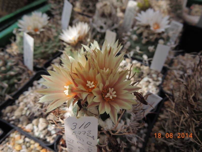 Cacti and Sukkulent in Köln, every day new flowers in the greenhouse Part 104 Bild1194