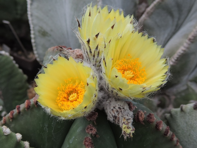 Cacti and Sukkulent in Köln, every day new flowers in the greenhouse Part 104 Bild1197