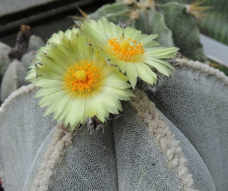 Cacti and Sukkulent in Köln, every day new flowers in the greenhouse Part 104 Bild1199