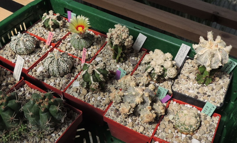 Cacti and Sukkulent in Köln, every day new flowers in the greenhouse Part 104 Bild1212