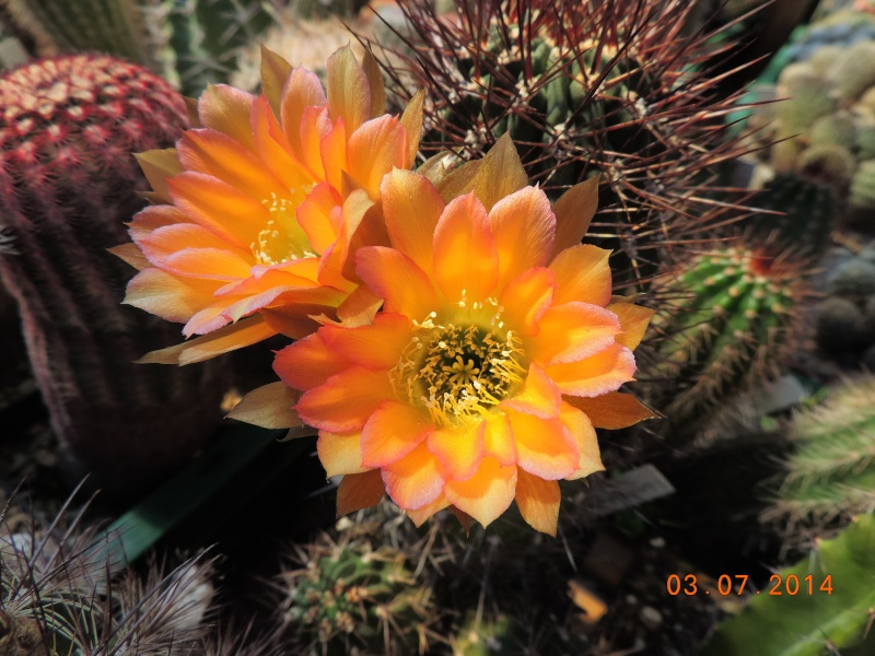 Cacti and Sukkulent in Köln, every day new flowers in the greenhouse Part 105 Bild1217