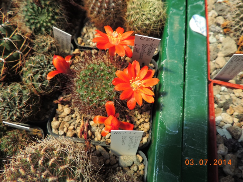 Cacti and Sukkulent in Köln, every day new flowers in the greenhouse Part 105 Bild1220