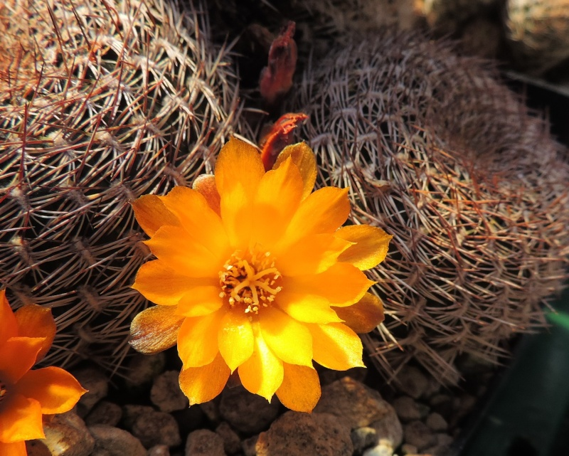 Cacti and Sukkulent in Köln, every day new flowers in the greenhouse Part 105 Bild1224