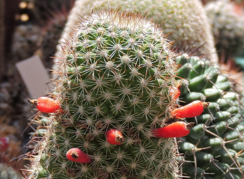 Cacti and Sukkulent in Köln, every day new flowers in the greenhouse Part 105 Bild1229