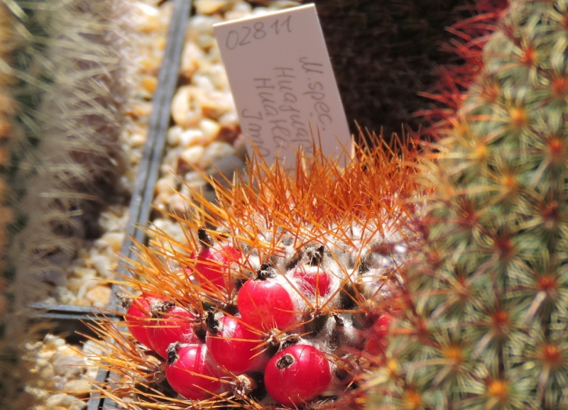 Cacti and Sukkulent in Köln, every day new flowers in the greenhouse Part 105 Bild1230