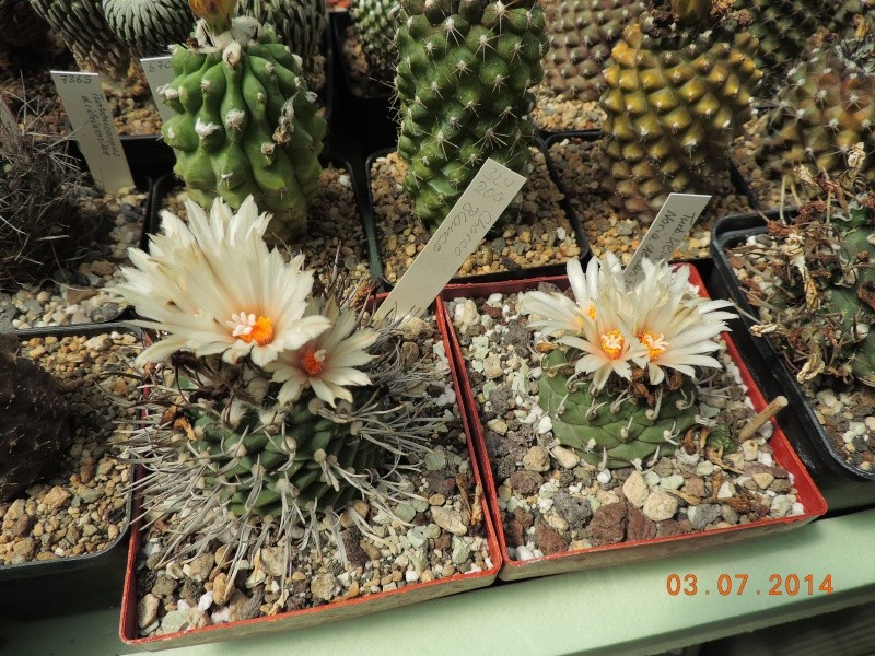 Cacti and Sukkulent in Köln, every day new flowers in the greenhouse Part 105 Bild1237