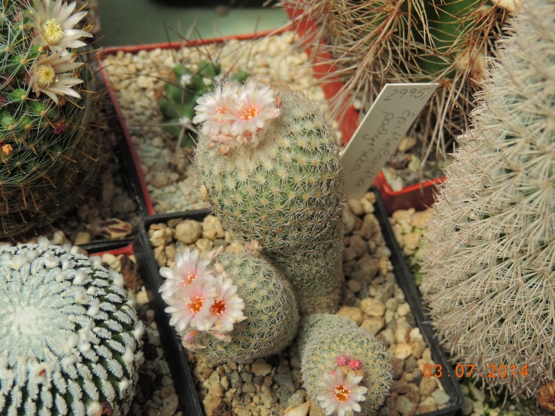 Cacti and Sukkulent in Köln, every day new flowers in the greenhouse Part 105 Bild1242