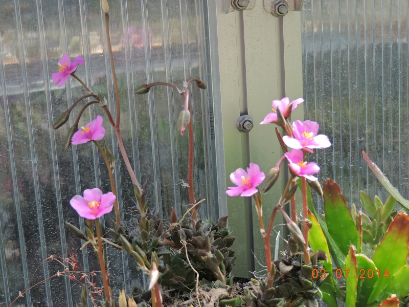 Cacti and Sukkulent in Köln, every day new flowers in the greenhouse Part 105 Bild1254