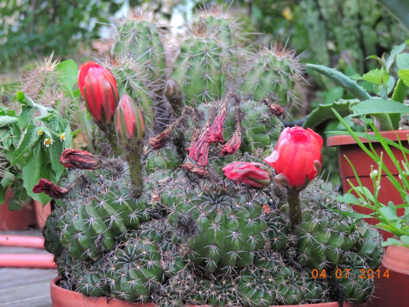 Cacti and Sukkulent in Köln, every day new flowers in the greenhouse Part 105 Bild1271
