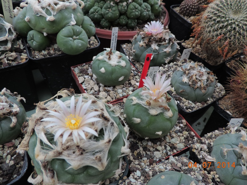Cacti and Sukkulent in Köln, every day new flowers in the greenhouse Part 105 Bild1274