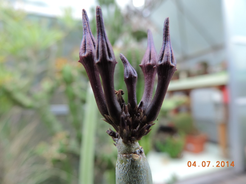Cacti and Sukkulent in Köln, every day new flowers in the greenhouse Part 105 Bild1316