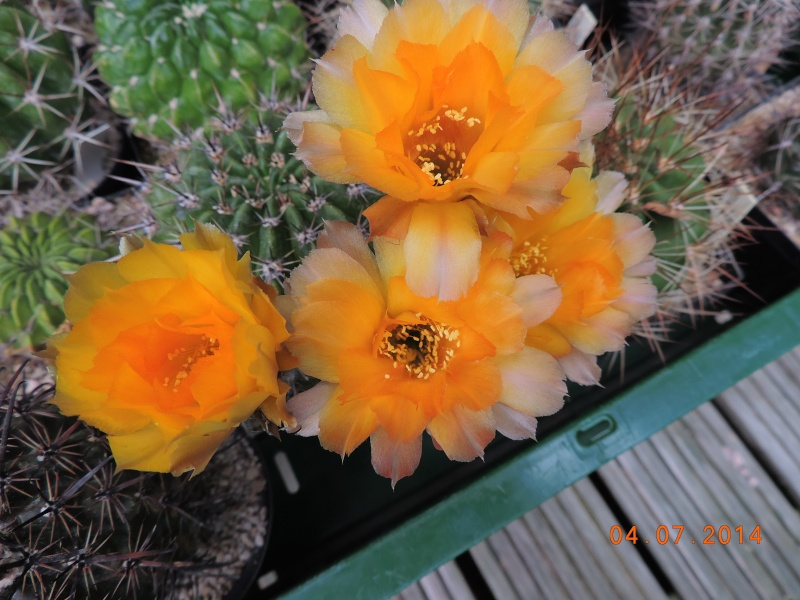 Cacti and Sukkulent in Köln, every day new flowers in the greenhouse Part 105 Bild1318