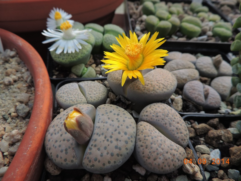 Cacti and Sukkulent in Köln, every day new flowers in the greenhouse Part 106 Bild1333