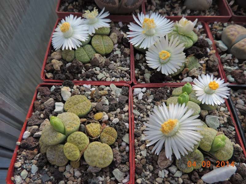 Cacti and Sukkulent in Köln, every day new flowers in the greenhouse Part 106 Bild1334