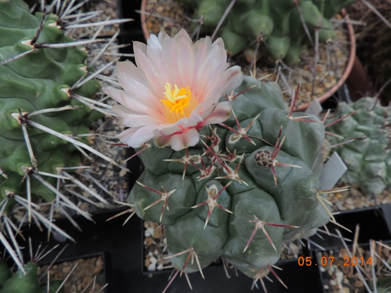 Cacti and Sukkulent in Köln, every day new flowers in the greenhouse Part 106 Bild1340