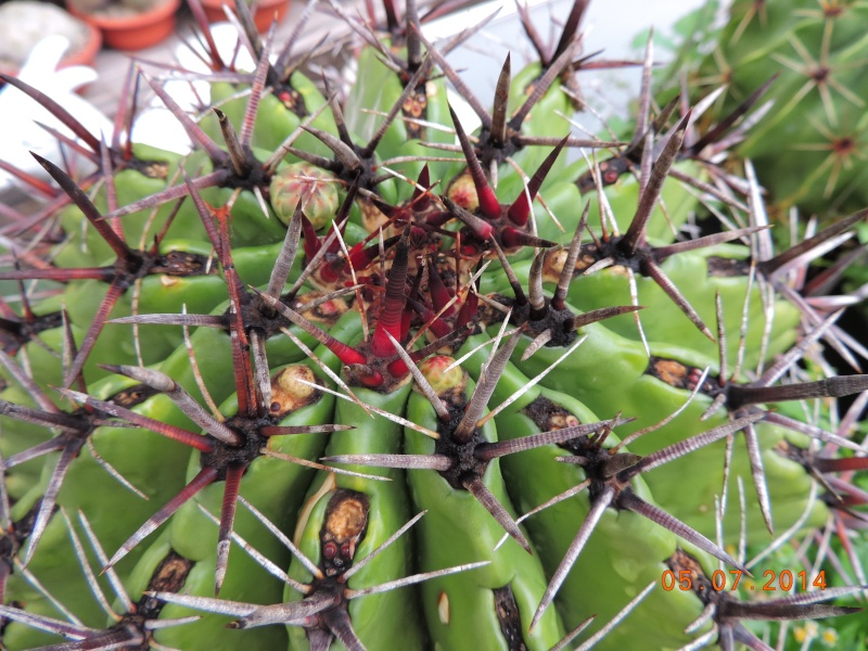 Cacti and Sukkulent in Köln, every day new flowers in the greenhouse Part 106 Bild1342