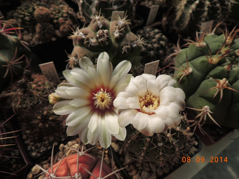 Cacti and Sukkulent in Köln, every day new flowers in the greenhouse Part 106 Bild1355