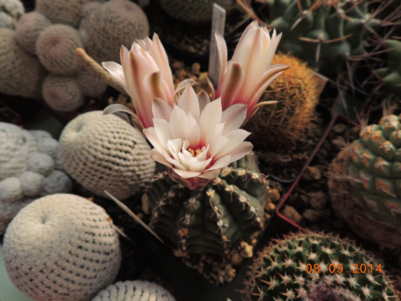 Cacti and Sukkulent in Köln, every day new flowers in the greenhouse Part 106 Bild1356