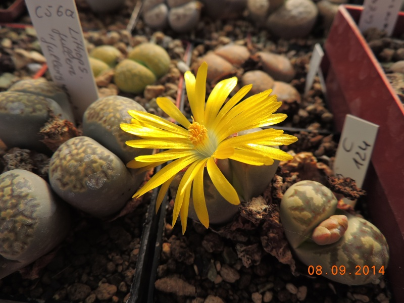 Cacti and Sukkulent in Köln, every day new flowers in the greenhouse Part 106 Bild1360