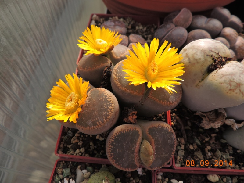Cacti and Sukkulent in Köln, every day new flowers in the greenhouse Part 106 Bild1361