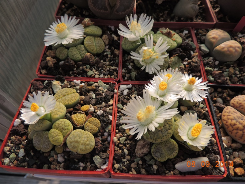 Cacti and Sukkulent in Köln, every day new flowers in the greenhouse Part 106 Bild1362