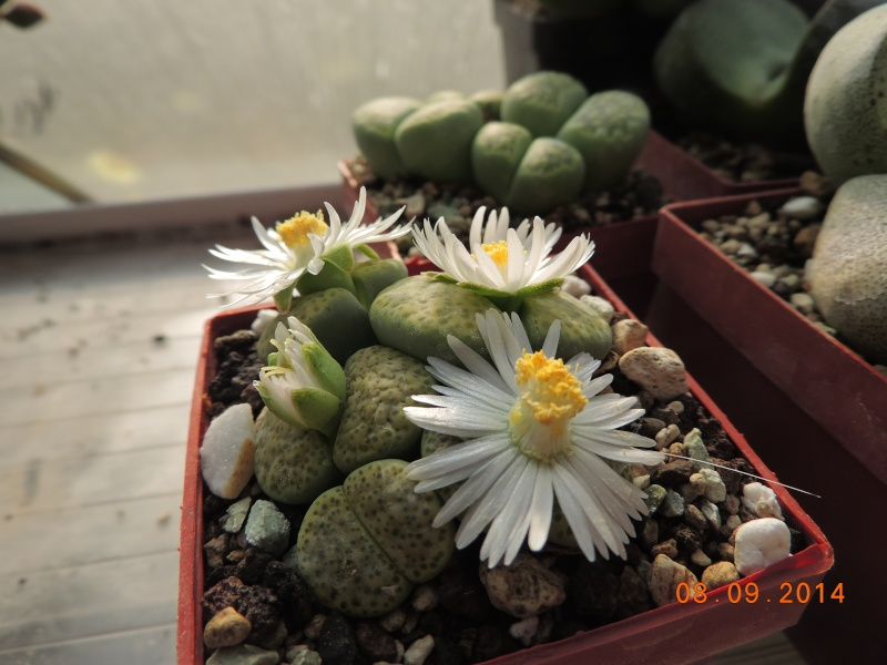 Cacti and Sukkulent in Köln, every day new flowers in the greenhouse Part 106 Bild1364