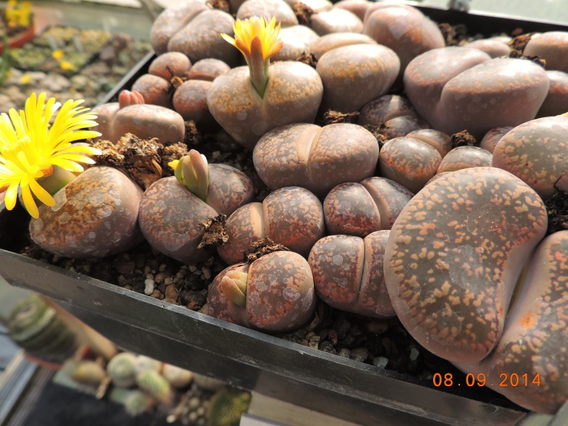 Cacti and Sukkulent in Köln, every day new flowers in the greenhouse Part 106 Bild1367