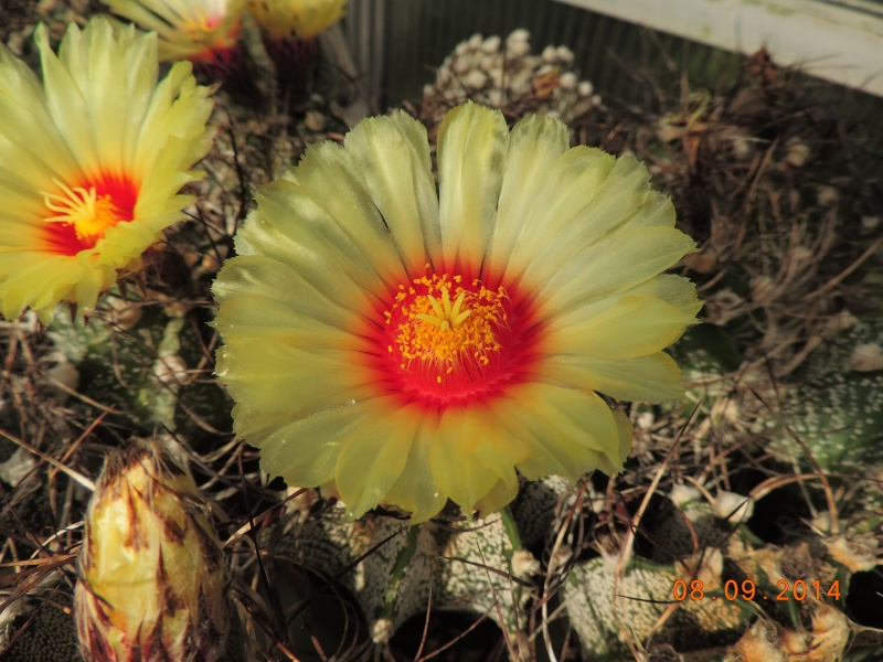 Cacti and Sukkulent in Köln, every day new flowers in the greenhouse Part 106 Bild1406