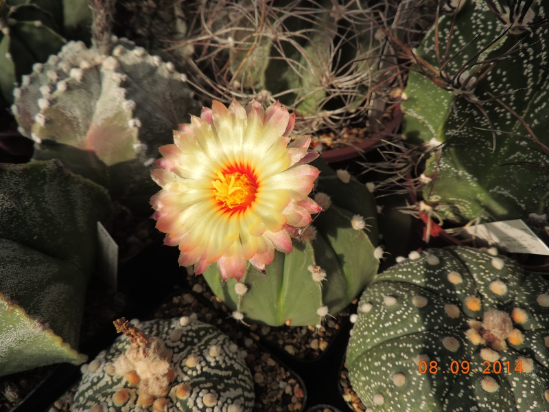 Cacti and Sukkulent in Köln, every day new flowers in the greenhouse Part 106 Bild1410